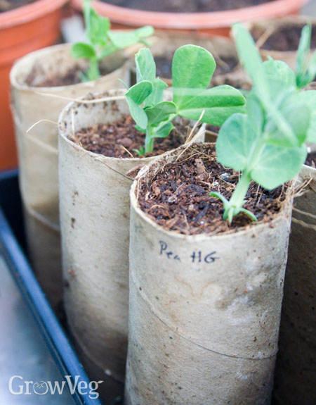Pea seedlings in cardboard tubes