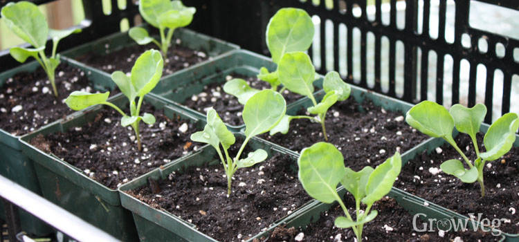 Brussels sprouts seedlings
