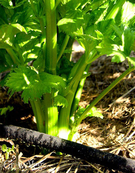 Celery watered by a drip hose