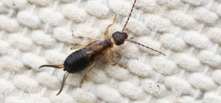 https://res.cloudinary.com/growinginteractive/image/upload/q_74/v1446329990/growblog/earwig-2x.jpg