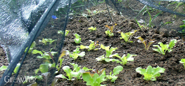Summer-sown lettuce seedlings protected under shade cloth