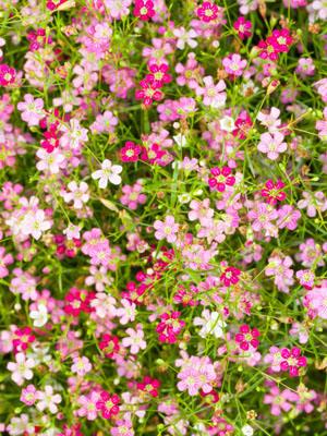 Gyp Flower Seeds - Flowers Healthy