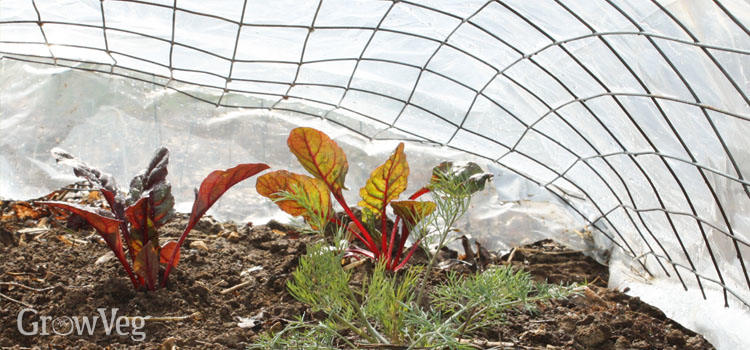 Swiss chard protected by a low tunnel made of wire mesh and row cover fabric.