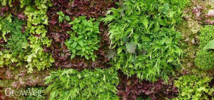 Salads planted vertically on a wall