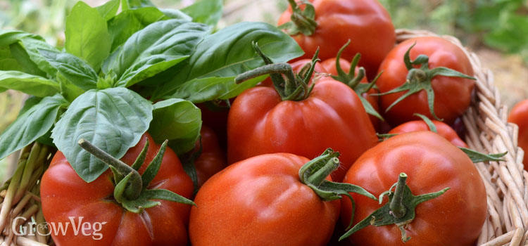Tomatoes and basil in a basket