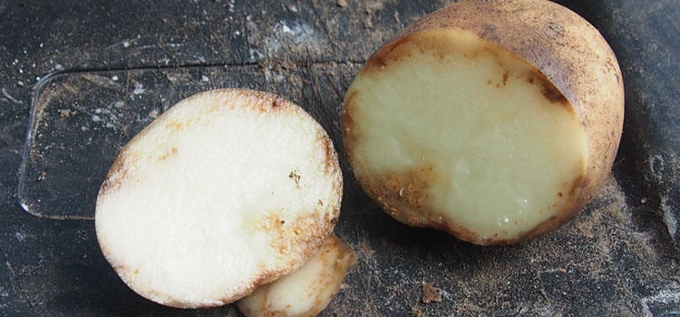 Potato tuber affected by late blight