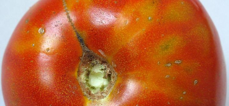 Tomato showing tomato spotted wilt virus