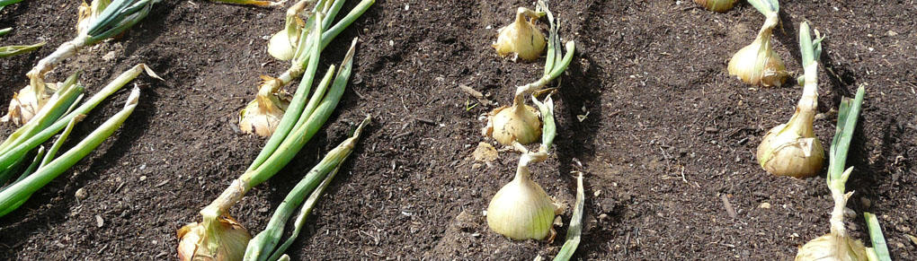 More Bulb for Your Buck: How to Grow Super-sized Onions and Garlic