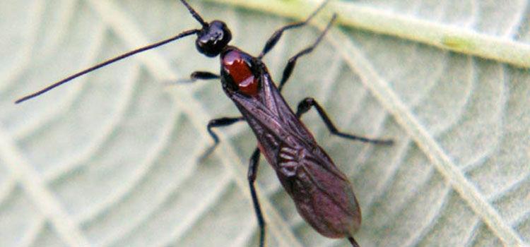 Adult braconid wasp