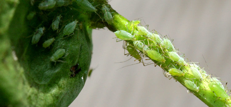 Aphids on a pea plant