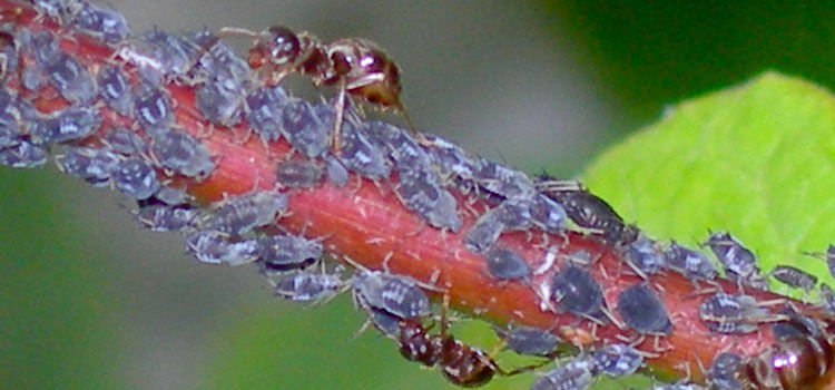 Ants farming black bean aphids