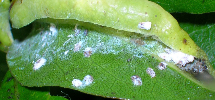 Bay sucker psyllid damage