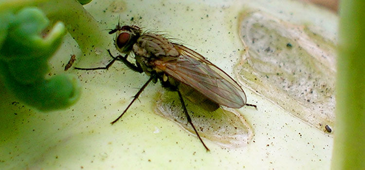 Adult cabbage flies lay eggs on or around the main stem of cabbage family plants