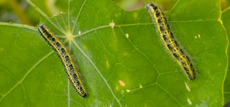 Large cabbage white butterfly caterpillars