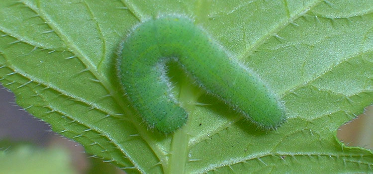 Small cabbage white butterfly caterpillar