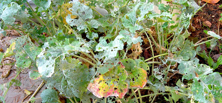 Damage caused by cabbage white butterfly caterpillars