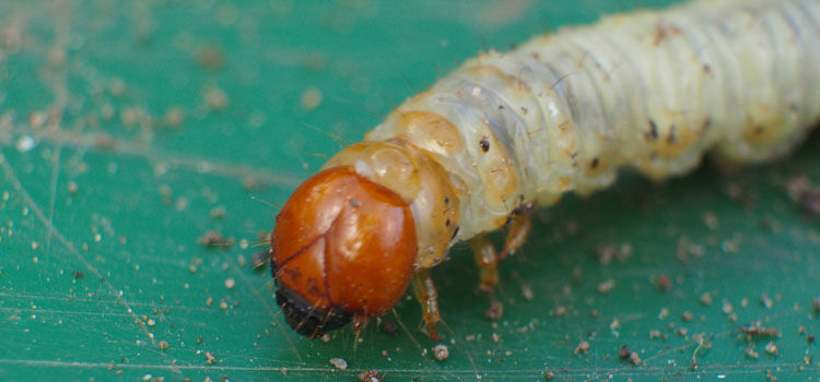 Chafer grubs feed on plant roots