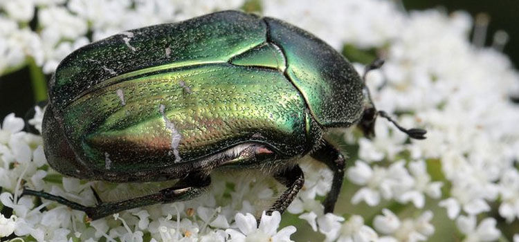 Adult chafer beetle