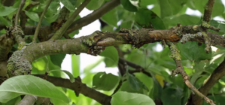 Damage to branches caused by woolly aphids