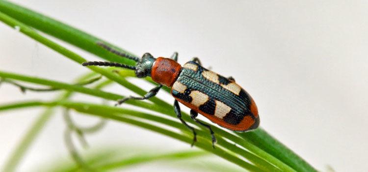Adult asparagus beetle