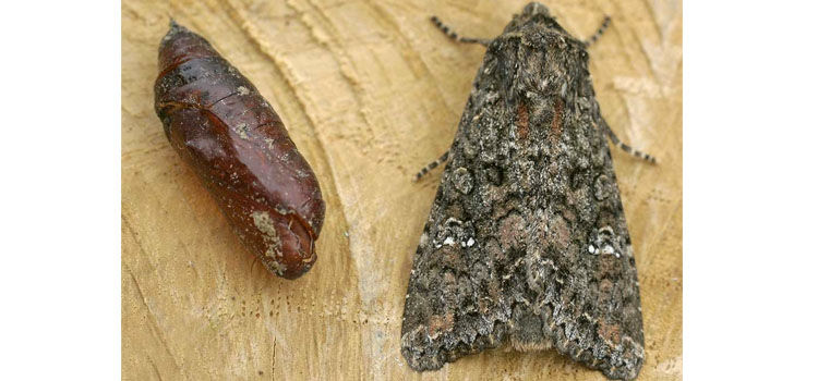 Adult cabbage moth and pupa