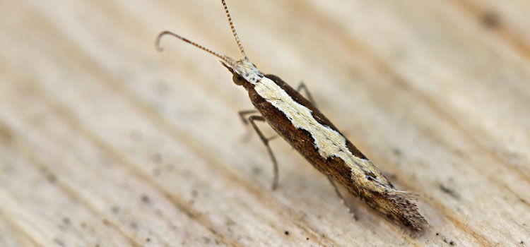 Diamondback moth
