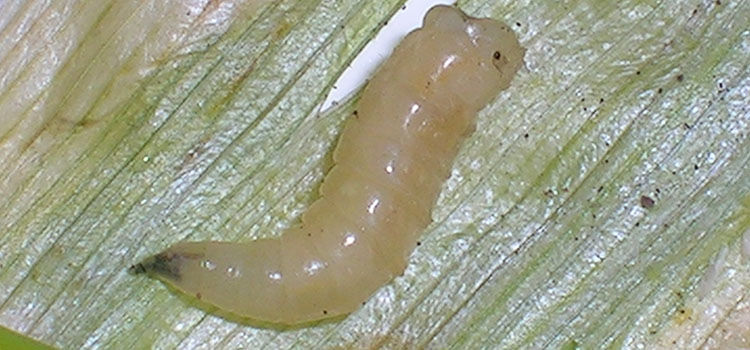 Allium leaf miner larva