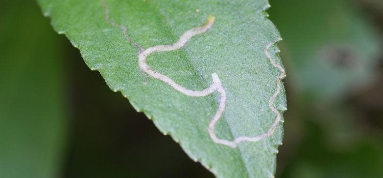 Chrysanthemum leaf miner damage