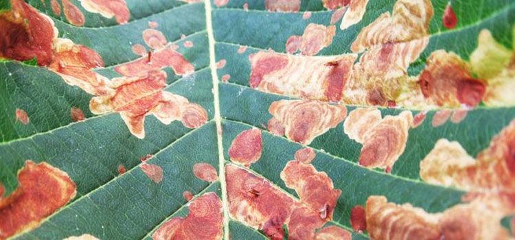 Horse chestnut leaf miner damage