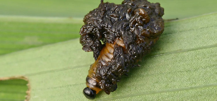 Larvae are usually covered in their own excrement