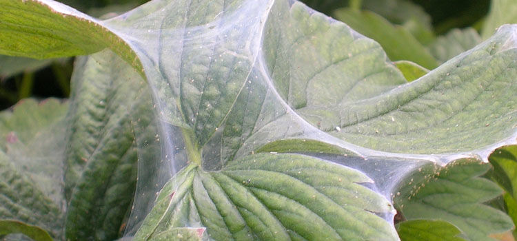 Red spider mites webbing on leaves