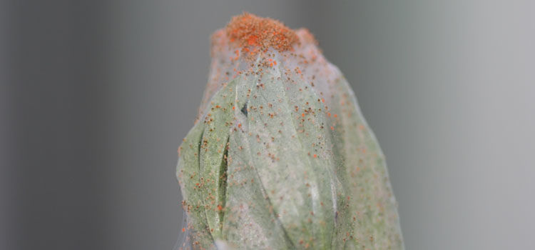 Red spider mites