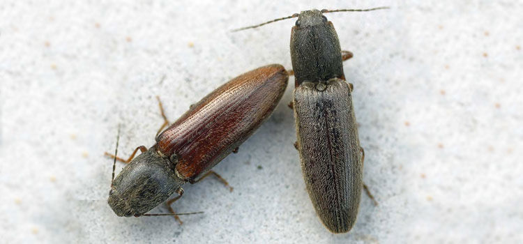 Click beetles (adult wireworms)
