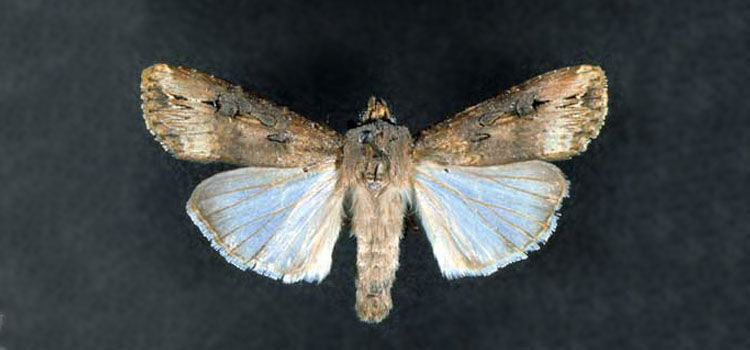 Adult black cutworm