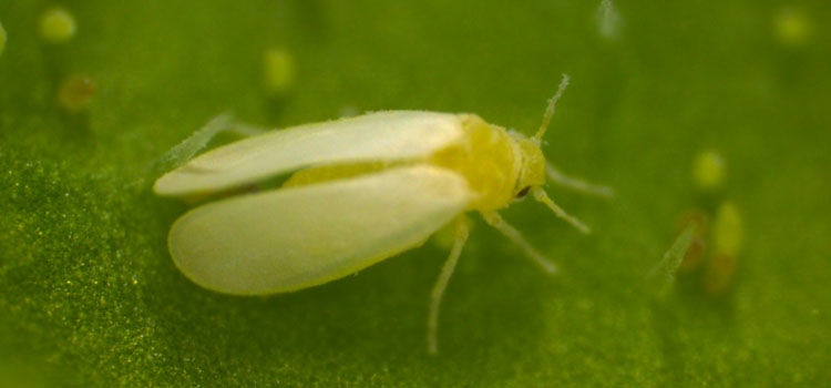 Tobacco whitefly is a different bemisia species (smaller, less moth-like)