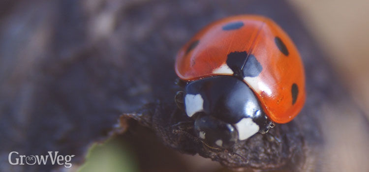 Ladybirds prey on aphids