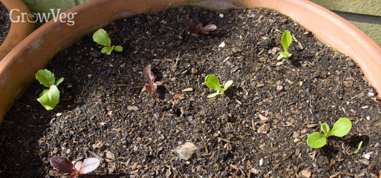 Lettuce seedlings in a container
