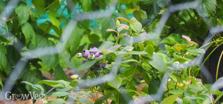 Blueberries in a fruit cage