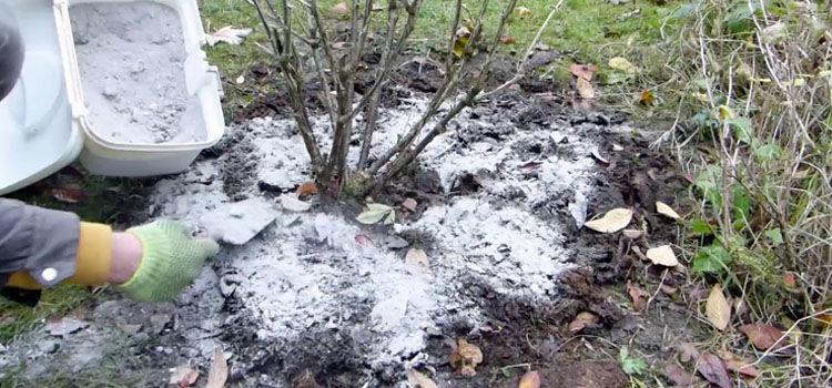 Spreading wood ash around a gooseberry bush