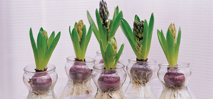 https://res.cloudinary.com/growinginteractive/image/upload/q_80/v1443559859/growblog/hyacinths-in-jars-2x.jpg
