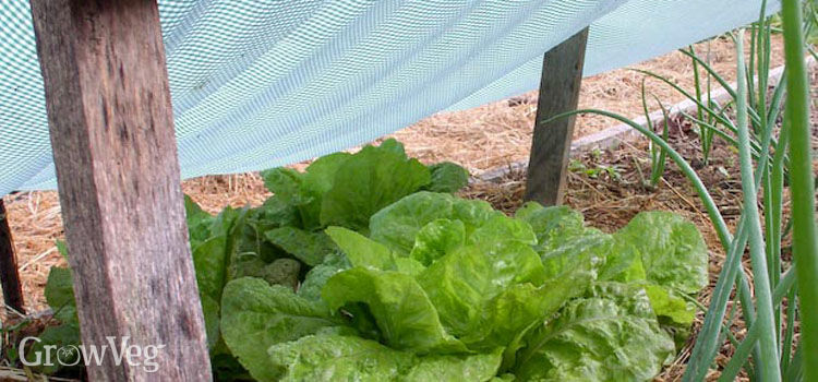 Shade cover protecting lettuce from the summer sun