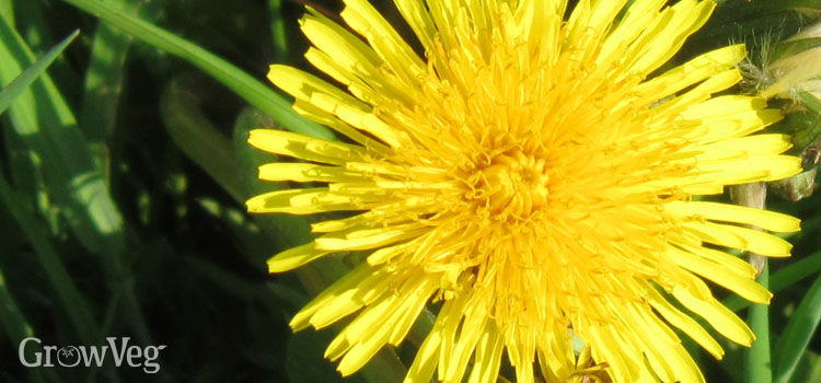 https://res.cloudinary.com/growinginteractive/image/upload/q_80/v1443630427/growblog/dandelion-2x.jpg