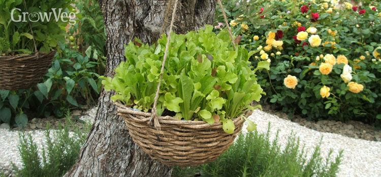 Lettuce-filled hanging basket