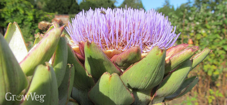 Great reasons to grow edible perennials there are a few perennials that are commonly eaten asparagus globe artichokes and rhubarb are good examples others such as tomato plants mightylinksfo