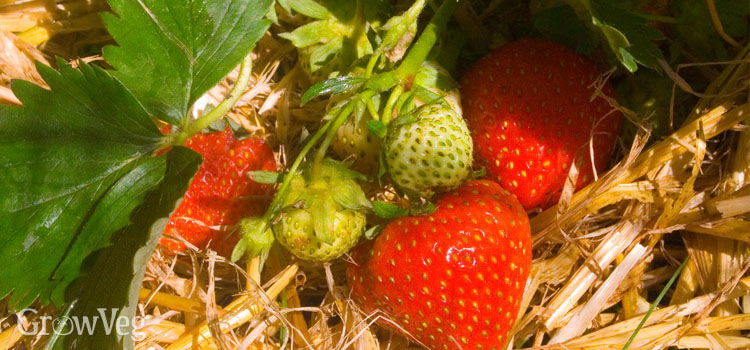 Strawberries mulched with straw