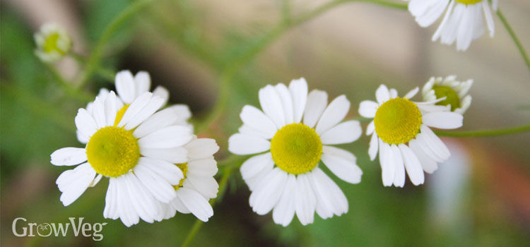 https://res.cloudinary.com/growinginteractive/image/upload/q_80/v1444507193/growblog/chamomile-flowers.jpg