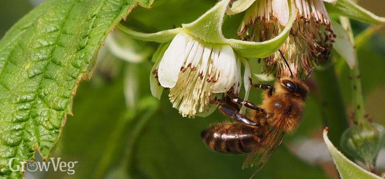 Bee on raspberry flower