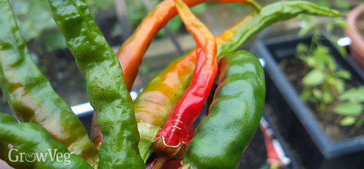 https://res.cloudinary.com/growinginteractive/image/upload/q_80/v1445112896/growblog/chillies-drying-2x.jpg