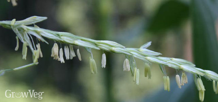 Sweet corn anthers