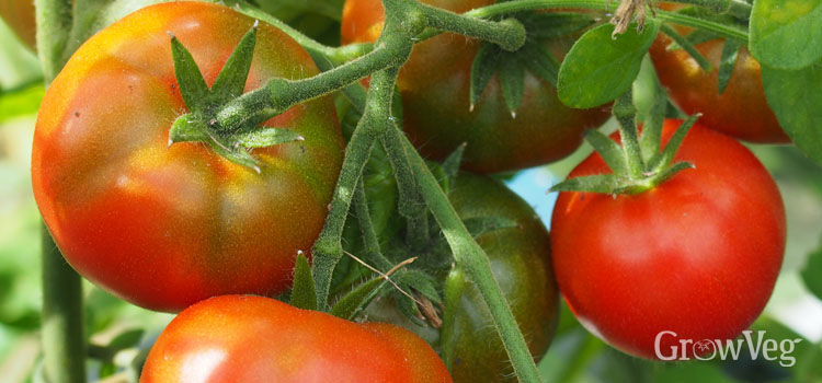 Tomatoes ripening